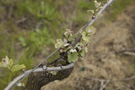 Bud Break in the Willamette Valley, 4/10