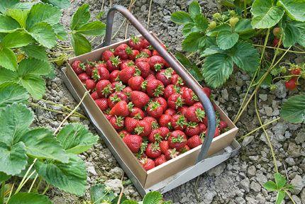 Biringer Farms strawberry box photo